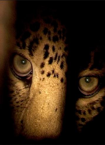 Indian Leopards: The Killing Fields
